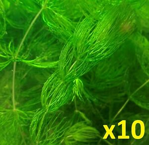 10 Branches of Hornwort Live Freshwater Plants