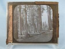 Magic Lantern Glass Slide In The Forrest Chopped Cut Down Trees Logs (O) AS IS