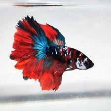 Live Betta Fish - Male -  Koi Fancy Multicolor HalfMoon Betta(AOCT58)