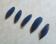 5 Natural Turaco (Great Blue Corythaeola Cristata) Feathers. 10-15 cm- RARE #ZZH