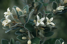 Correa alba in 75mm supergro tube Native plant