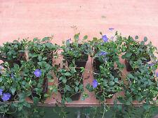 Vinca minor 10 Immergrün   Bodendecker blaue Blüte immergrün Originalbild