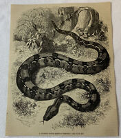 1877 magazine engraving ~ A GIGANTIC SOUTH AMERICAN SERPENT