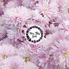 SOMMERASTER APPLE BLOSSOM 200 Samen grosse gefüllte Blumenblüten in pastell Rosa