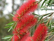RED WILLOW BOTTLEBRUSH CALLISTEMON VIMINALIS FLOWERING NATIVE 1500 SEEDS