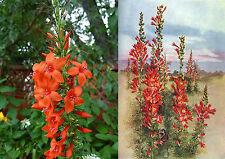 60+ Samen Ipomopsis rubra - Standing Cypress