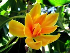 10 Seeds of Rare Michelia/Magnolia Champaca Joy Perfume Champa Tree for growing