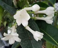 New listing Madagascar Jasmine vine potted Stephanotis white fragrant flower wedding