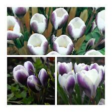 Prins Claus Species Crocus x 100 Bulbs.Early Spring Flowering BUlbs