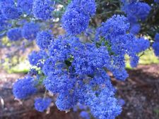Ceanothus Blue Pacific (Californian Lilac) x 1 plant. Ask for combined postage