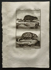 1799 - Buffon - Le surikate / Le Phalanger - Gravure zoologie