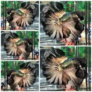 Live Fish Betta Male Premium Grade : Copper Gold Rosetail!! (Halfmoon) From Thai