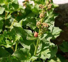 1200 Seeds Goosefoot Grass good-Henri King Henry Chenopodium Bonus-Henricus