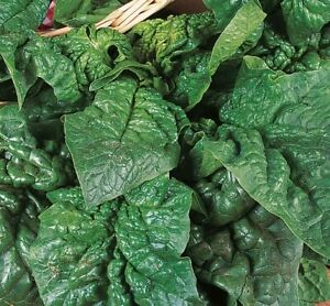 Giant Winter Spinach Seeds x 250 - Over Winter - Hardy - Vegetable
