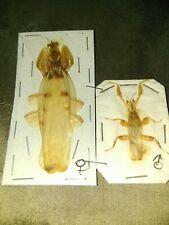 Orchideen mantis paar