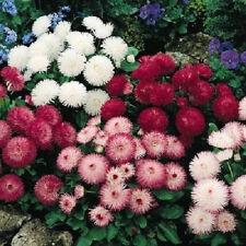English Daisy Flower Seeds - Garden Seeds - Bulk