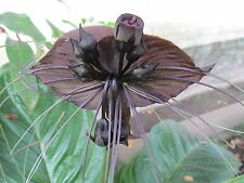 Tacca chanteri BAT FLOWER Unusual Black Flowers Seeds!
