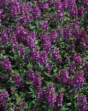 5 Angelonia Serenita Purple Live Starter Plants Plugs Garden Home Diy Planters