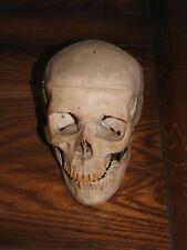 Crâne humain didactique en résine