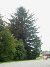 Sitka Spruce, Picea Sitchensis. 25 seeds. New easter offer, one free pack