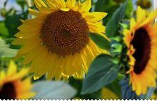 35 Graines de Tournesol Méthode BIO seed jardin plante fleur décorative potager