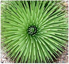(20) Agave stricta Seeds - hedgehog agave, rabo de léon - Combined S&H