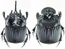 Pair 23mm+ ....!! Insect SCARABAEIDAE Oxysternon conspicilatum Peru Med