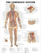 LYMPHATIC SYSTEM POSTER (66x51cm) ANATOMICAL CHART HUMAN BODY ANATOMY MEDICAL