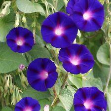 Purple Morning Glory Seeds 20+ - Purple Flower vine seeds