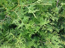Thuja Brabant 1 St.80-100cm  Lebensbaum / Heckenpflanzen jede Stückzahl möglich