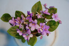 "African Violet ""Kentucky Wilderness Trail"" New"