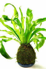 Fern - LIVE Kokedama  indoor plant with small rectangle blue dish - 30cm high