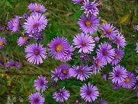 Aster- New England- 100 Seeds