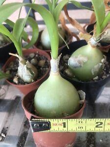 Pregnant Onion Plant