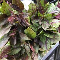 Saatgut Perilla Britton 10+ Samen Seeds FARBIG und DUFTIG!