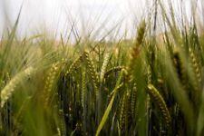 50 Barley Seeds, Cover Crop, Animal Fodder, Brewing, Sprouting, Planting Barley