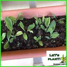 "Comfrey 7 Root Cuttings ""Russian Bocking 14 ""(Perfect for Organic farming)"