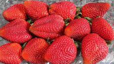 200x Giant Strawberry Seeds RARE Fragaria Ananassa Huge Fruit Organic Heirloom