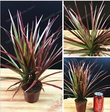 Ornamental Plant Dracaena Marginata Seeds Widely Cultivated Dracaena Gardening