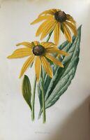 ANTIQUE PRINT C1900 RUDBECKIA GARDEN FLOWERS BOTANY BOTANICAL FLOWER ART PLANTS