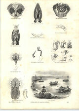1854 Engravings Crab Fishing Carapace Claw Astacus