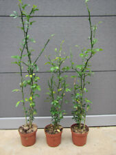 Poncirus trifoliata - Bitterorange - Pflanze 30-50cm - Winterhart -25°C Zitrone