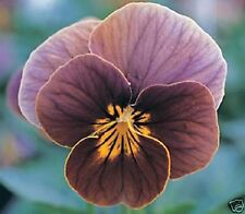 30+ Viola Frosted Chocolate / Sweetly Scented Perennial Flower Seeds