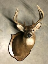 Trophy Whitetail 8 Point Deer Taxidermy Shoulder Mount
