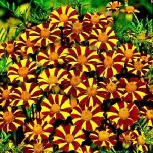 Marigold (Court Jester) Seeds 😁 30+ In Each Pk. Care Instructions Included Xx