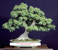 Acer Palmatum Shishigashira For Bonsai Tree,