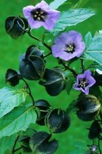 NICANDRA PHYSALODES - SHOO FLY (50 SEEDS) One of the fastest growing plants!