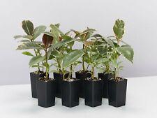 8-96 plants Ficus elastica Tineke easy care indoor houseplant rubber plant