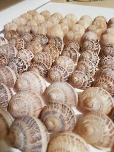 Shells mix - 60 Pomatia +  60 Maxima + 60 Muller