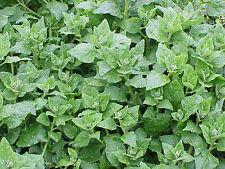 WARRIGAL GREENS 20+ seeds New Zealand Spinach NATIVE hardy vegetable garden